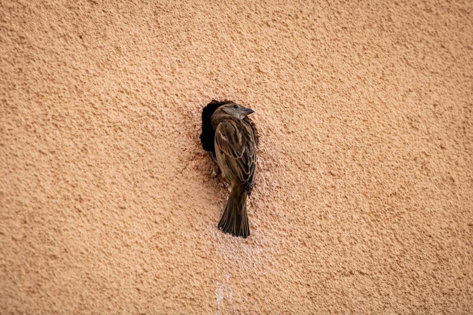 Haussperling/Hausspatz (Passer domesticus), Weibchen