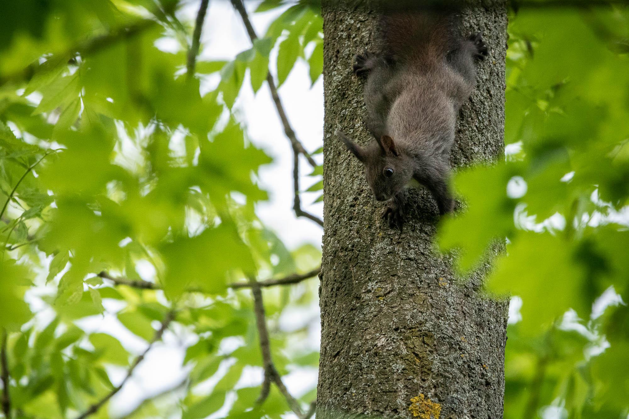 Eurasische Eichhörnchen (Sciurus vulgaris)