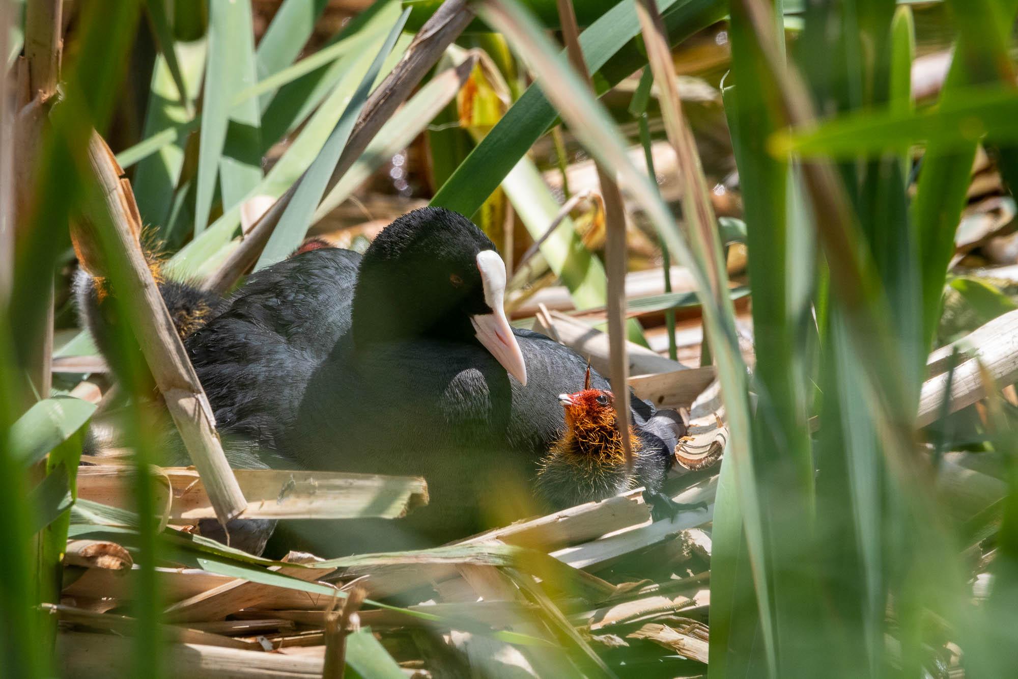 Blässhuhn/Blässralle (Fulica atra), Mutter mit Küken im Nest