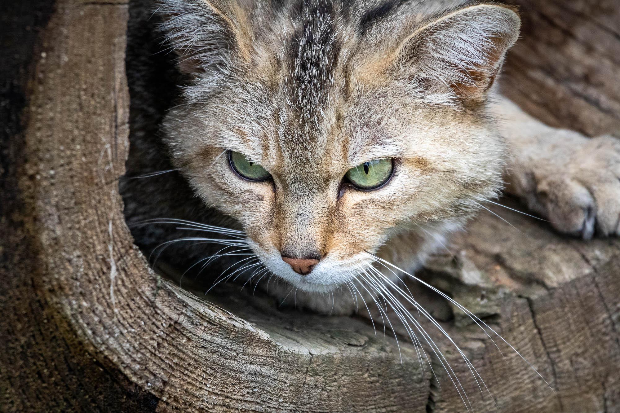 Europäische Wildkatze / Waldkatze (Felis silvestris)